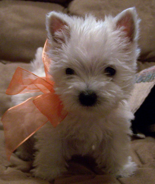 Nearing desperation rebecca 39 s ramblings - Pictures of westie dogs ...