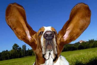 bassett-ears