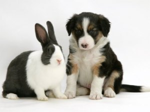 border-collie-puppy-with-bunny