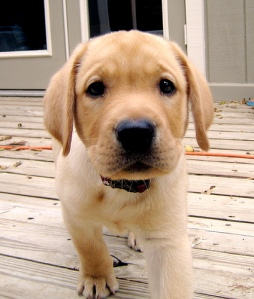golden-lab-puppy