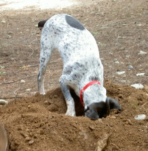 dog-digging-2